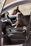 English bull terrier dog in a car Royalty Free Stock Photography