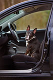 English bull terrier dog in a car Royalty Free Stock Image