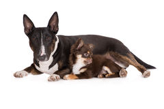 English bull terrier dog and chihuahua puppy Royalty Free Stock Image