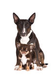 English bull terrier dog and chihuahua puppy Royalty Free Stock Photos