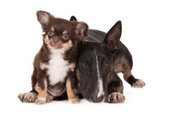 English bull terrier dog and chihuahua puppy Stock Photography