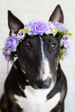 English bull terrier dog in a flower crown Stock Images