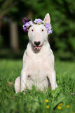 English bull terrier dog in a flower crown Stock Photography