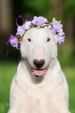 English bull terrier dog in a flower crown Royalty Free Stock Photo