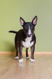 English bull terrier dog indoors Royalty Free Stock Photos