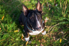 English bull terrier dog looking up Stock Photo