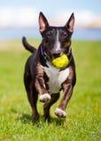 English bull terrier dog Royalty Free Stock Photo