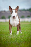 English bull terrier dog outdoors Royalty Free Stock Photography