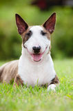 English bull terrier dog outdoors Royalty Free Stock Images