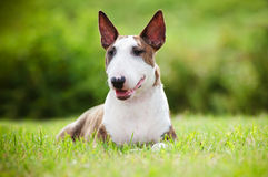 English bull terrier dog outdoors Stock Photography
