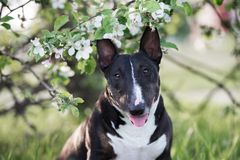 English bull terrier dog outdoors in spring Royalty Free Stock Images