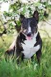English bull terrier dog outdoors in spring Stock Image