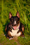 English bull terrier dog Stock Images
