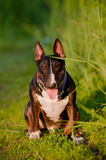 English bull terrier dog Royalty Free Stock Images
