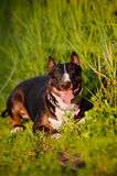 English bull terrier dog Royalty Free Stock Photos