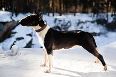 English bull terrier dog outdoors in winter Stock Images