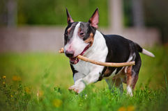 English bull terrier dog outside Royalty Free Stock Photo