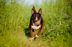 English bull terrier dog plays with a ball Royalty Free Stock Image