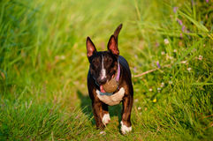 English bull terrier dog plays with a ball Royalty Free Stock Photography