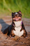English bull terrier dog plays with a ball Royalty Free Stock Photo