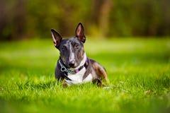 English bull terrier dog portrait Stock Photography