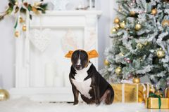Funny dog wearing antlers posing indoors for Christmas Royalty Free Stock Photo