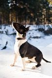 English bull terrier dog outdoors in winter. English bull terrier dog in posing outdoors in winter Royalty Free Stock Images