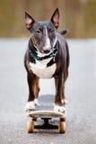 English bull terrier dog on a skateboard Stock Photos