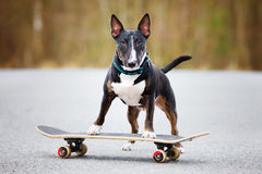 English bull terrier dog on a skateboard Royalty Free Stock Photos