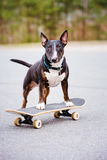 English bull terrier dog on a skateboard Stock Images