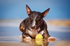 English bull terrier dog with a tennis ball Royalty Free Stock Image