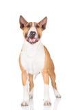 English bull terrier dog Stock Photo