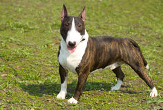 English bull terrier Stock Photography