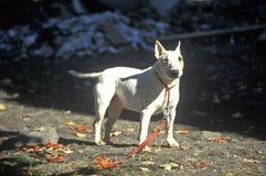 English Bull Terrier on leash Royalty Free Stock Photos