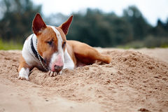 English bull terrier lies on sand. Royalty Free Stock Photos