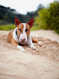 The English bull terrier lies on sand. Royalty Free Stock Image