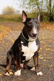 English Bull Terrier male sitting on a country road among autumn leaves royalty free stock photography