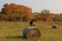 English Bull Terrier male standing on a hay bale royalty free stock photo
