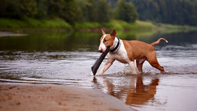 The English bull terrier plays with a stick in the river Royalty Free Stock Image