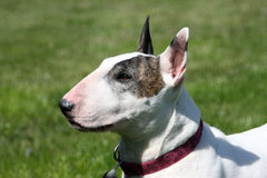English Bull Terrier Profile Portrait. A white English bull terrier with a brindle eye patch, profile portrait stock photo