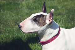 English Bull Terrier Profile Portrait top view. A white English bull terrier with a brindle eye patch, profile portrait with a top side view stock photo