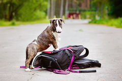 English bull terrier puppy on guard Royalty Free Stock Image