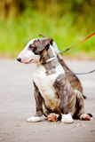 English bull terrier puppy on a leash Royalty Free Stock Image