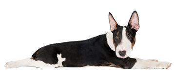 English bull terrier puppy lying down funny Stock Photography