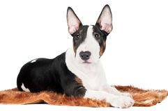 English bull terrier puppy lying down funny Stock Photo