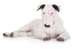 English bull terrier puppy Stock Images