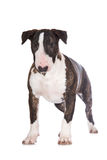 English bull terrier puppy Royalty Free Stock Photo