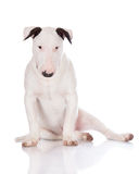 English bull terrier puppy Stock Photos