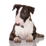 English bull terrier puppy Royalty Free Stock Images