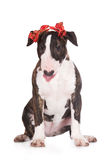 English bull terrier puppy Royalty Free Stock Photography